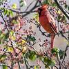 DSC_9168 cardinal