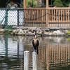 DSC_6471 cormorant