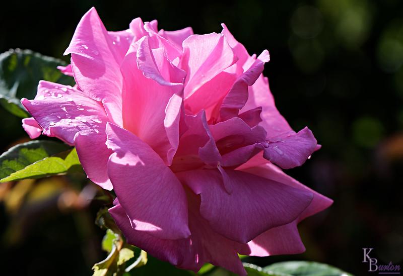 DSC_4664 pink rose_DxO