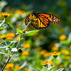 DSC_6305 monarch butterfly