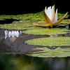 DSC_2035 water lily