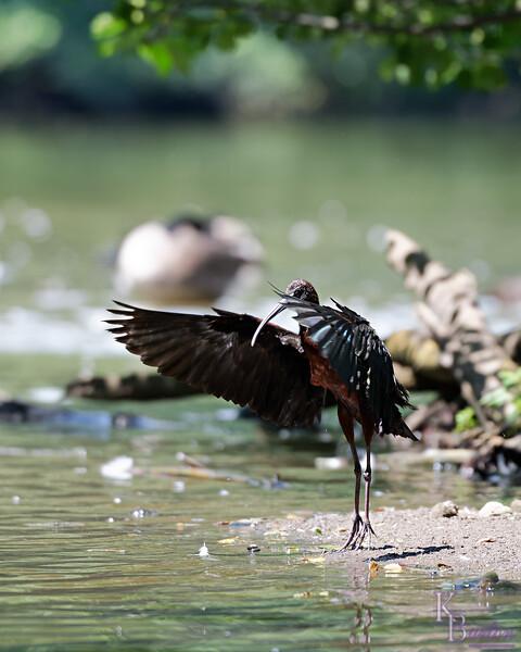 DSC_0885 scarlet ibis_DxO