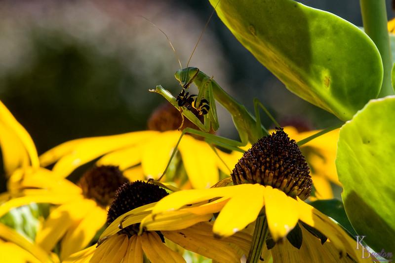 DSC_3014 praying mantis