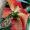 DSC_0701 monarch