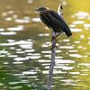 DSC_7254 green heron