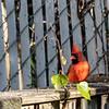 DSC_6283 cardinal