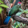 DSC_3694 red crested Turaco