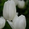 DSC_3566  white tulips_DxO
