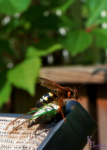 After climbing straight up my chaise lounge with it's incredibly cumbersome load, the hornet stopped to rest and groom for a moment or two, then it flew off to my back fence and amazingly climbed up through all the vines and leaves on my fence to reach the top where I was waiting for it.