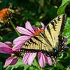 DSC_9772 Swallowtail butterfly