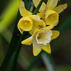 DSC_4505 daffodillls_DxO