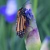 DSC_5698 monarch butterfly