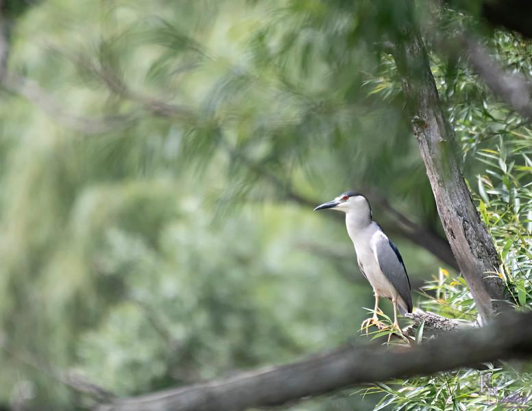 DSC_2570 night heron