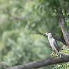 DSC_2570 night heron