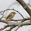 DSC_0858 ruby kinglet_DxO