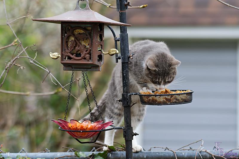 DSC_7694 catbird