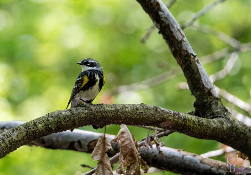 DSC_4719 yellow rumped warbler