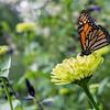 DSC_3223 monarch