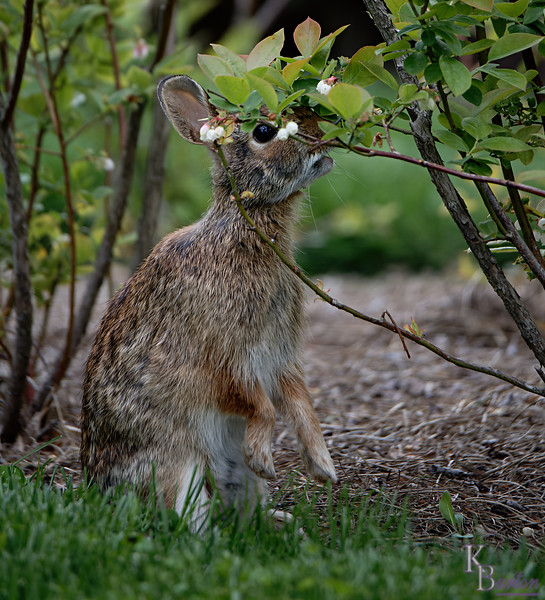 DSC_3900 bunny rabbit_DxO