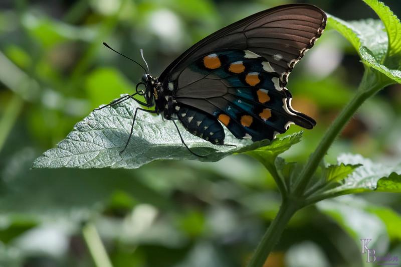 DSC_1125 swollowtail butterfly