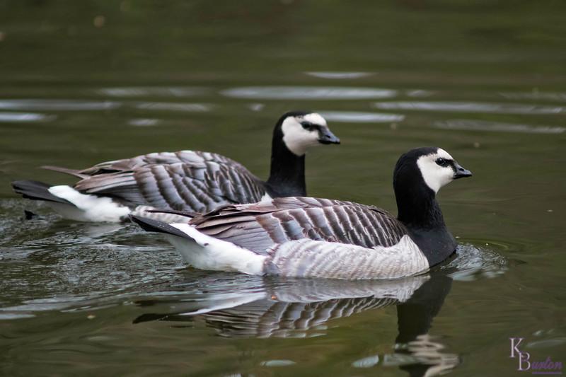 DSC_3294 barnacle geese