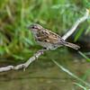DSC_4258 sparrow