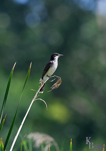 DSC_9510 eastern kingbird_DxO