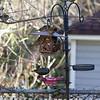 DSC_3522_backyard visitors_DxO