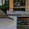 DSC_4117 mourning doves