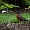 DSC_3784 robin red breast_DxO