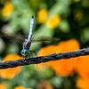 DSC_3852 dragonfly