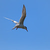Terns hunt for fish the way osprey's do, by dive bombing straight down and disappearing completely under the water.