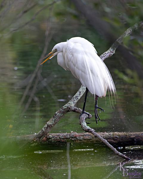 DSC_2948 great wheite egret