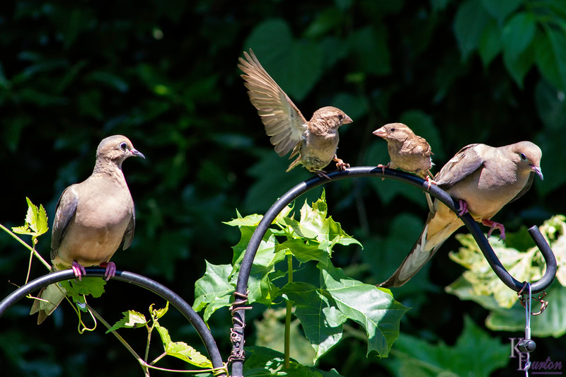 """Getting into her personal space and getting up in her face was all the second sparrow was willing to put up with. Now she got on the offensive rolling up her sleeves and responding back, """"B%&×÷,  who died and made you queen of the backyard?"""" And the morning dove slides down still farther, trying to keep out of harms way, as things are heading south in a hurry."""