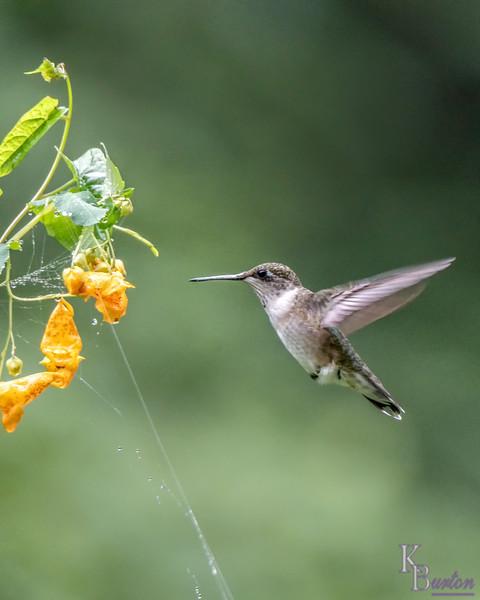 DSC_1345 hummingbird