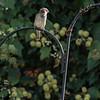 DSC_5677 sparrow