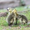DSC_3982 goslings