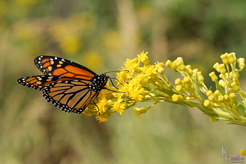 DSC_0430 monarch_DxO