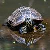 DSC_9821 painted turtle_DxO