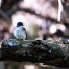DSC_1329 eastern kingbird_DxO