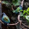 DSC_0742 nicobar pigeon