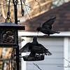 DSC_8257 starlings