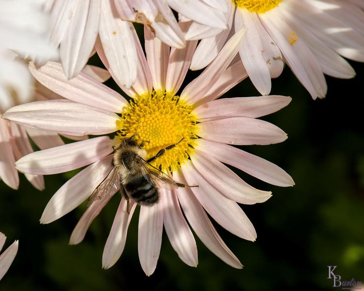 DSC_9421 bumble bee