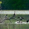 DSC_3808 cormorants