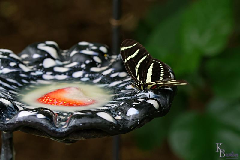 DSC_0810 zebra longwinged butterfly_DxO
