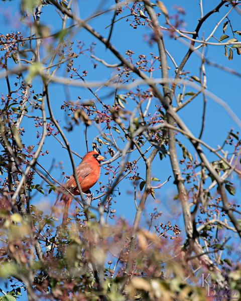 DSC_9063 cardinal