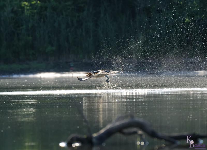 DSC_0272 osprey's on the hunt_DxO