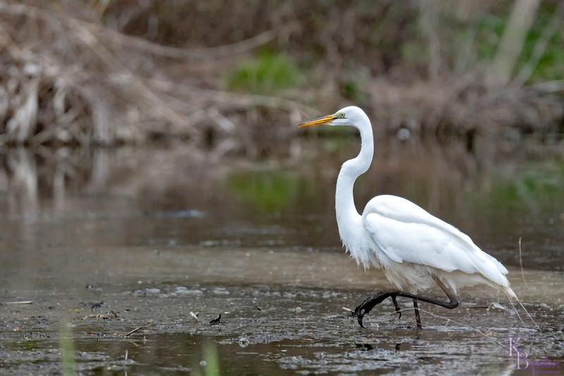DSC_6759 hnting in the marsh
