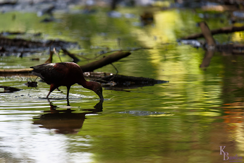 DSC_0114 scarlet ibis_DxO