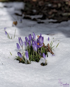 Yes everywhere you look you see snow, but by the calendar it is the first day of spring, as these no doubt chilly crocus attest. So better days are just around the corner.